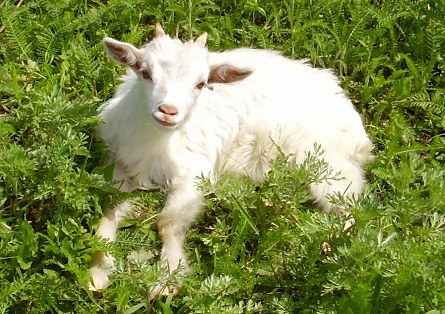 Козлёнок, сосущий материнское вымя Питаются козы травой и молодыми